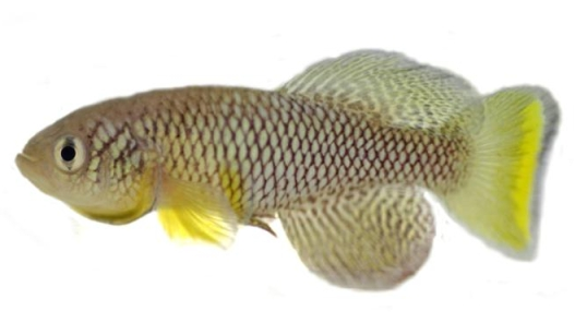 Turquoise killifish used for fecal transplant experiments.