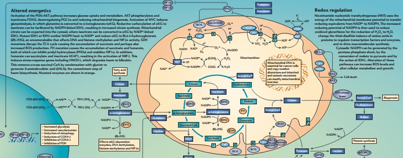 mitochondria in cancer poster preview