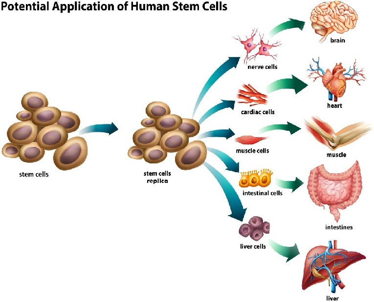 Different types of stem cells can counter stem cell decline and grow into virtually any cell type in the human body.