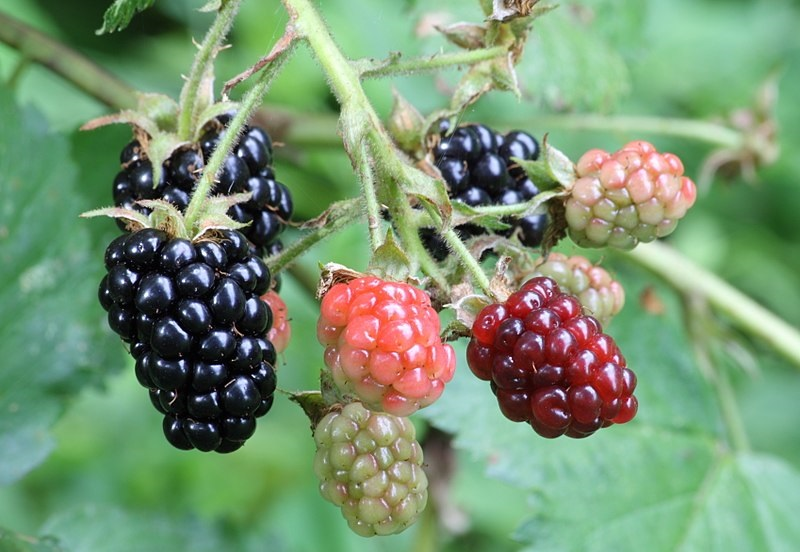 Wild fruit is an important feature of the paleo diet.