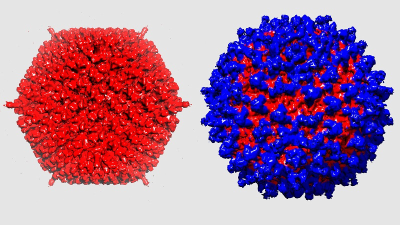 Virus re-engineered for cancer therapy.