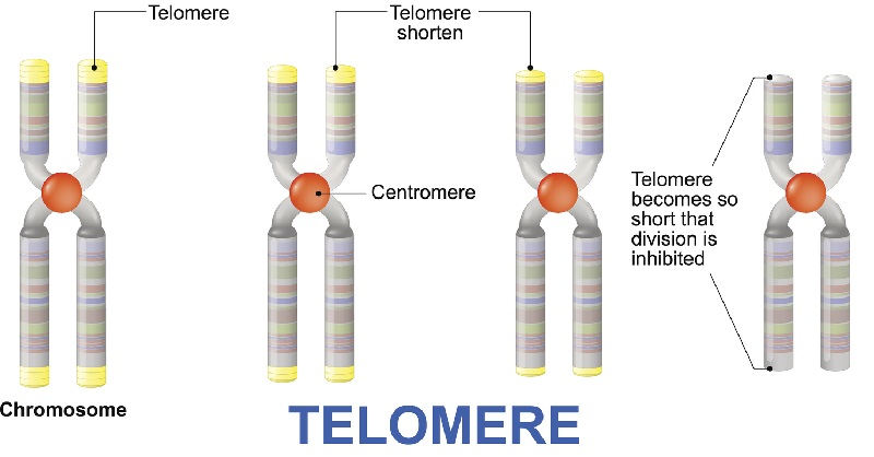 Telomere length shortens as we age.
